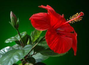 Китайская роза, приметы