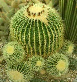 Приметы кактус
