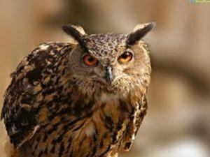 Народные приметы о Сове - лесной хищнице